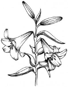 Как нарисовать цветы Лилии поэтапно в 5 шагов.