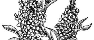 Как нарисовать цветы Сирени