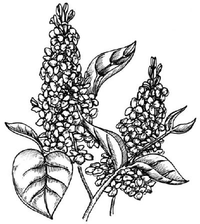 Как нарисовать цветы Сирени поэтапно в 5 шагов.