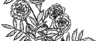 Как нарисовать Цветы Календулы