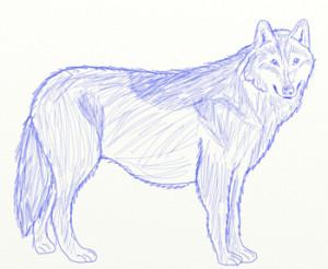 Как нарисовать Волка поэтапно в 6 шагов 6