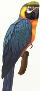 Как нарисовать попугая поэтапно в 5 шагов 1