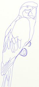 Как нарисовать попугая поэтапно в 5 шагов 5