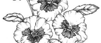 Как нарисовать цветы Анютины глазки