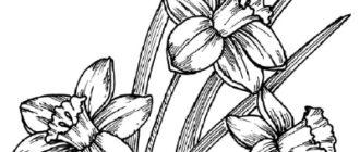 Как нарисовать Нарциссы