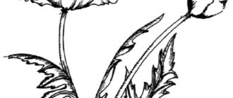Как нарисовать цветы Маки
