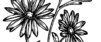 Как нарисовать цветы Ромашки