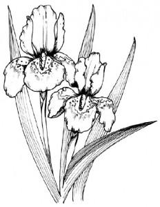 Как нарисовать цветы Ирисы поэтапно в 5 шагов.