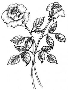 Как нарисовать Розы поэтапно в 5 шагов.