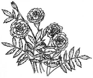 Как нарисовать Цветы Календулы поэтапно в 5 шагов 1