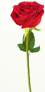 Как нарисовать Розу поэтапно в 5 шагов 1
