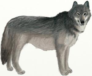 Как нарисовать Волка поэтапно в 6 шагов 1