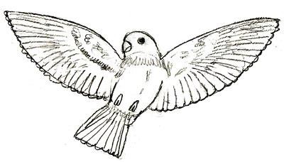 Как рисовать птиц поэтапно в 6 шагов.